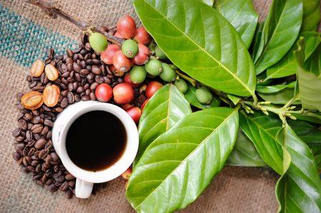 planta de cafea, curiozitati despre cafea
