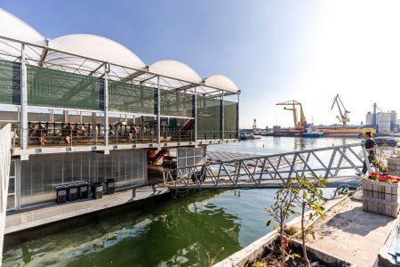 La Rotterdam, vacile plutesc pe apă pentru a proteja mediul înconjurător